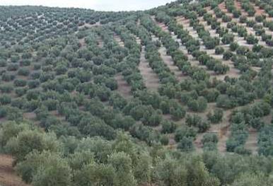 Castilla- La Mancha- aceitunas…